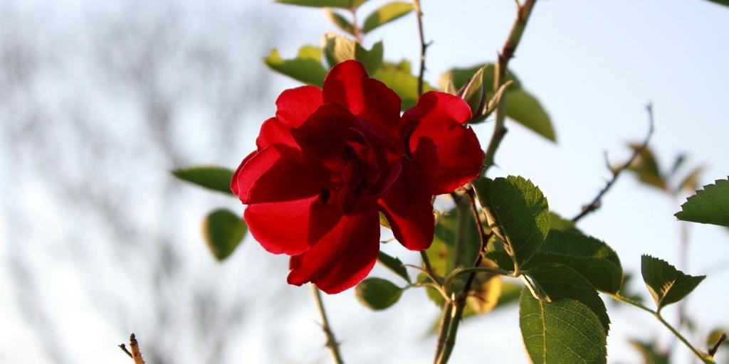 May Day rose