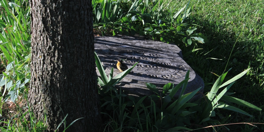 A young robin dances on a fallen headstone