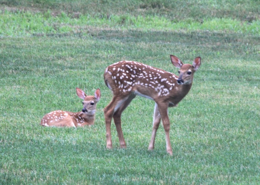 Twin fawns rest on the lawn