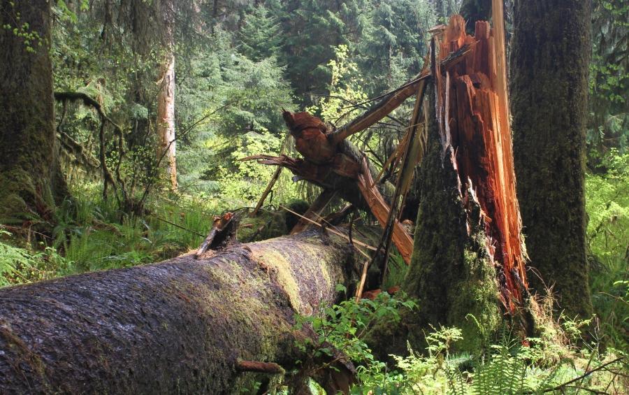 Splintered trunk of a fallen tree in the Hoh rain forest