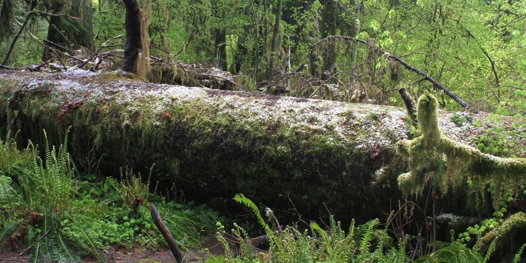 A tree that fell in the Hoh rain forest