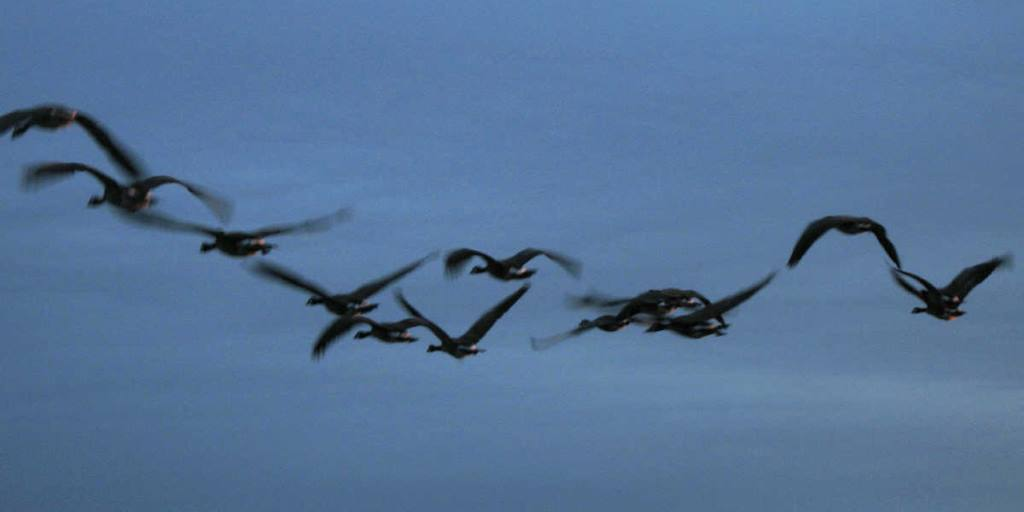 Geese in motion