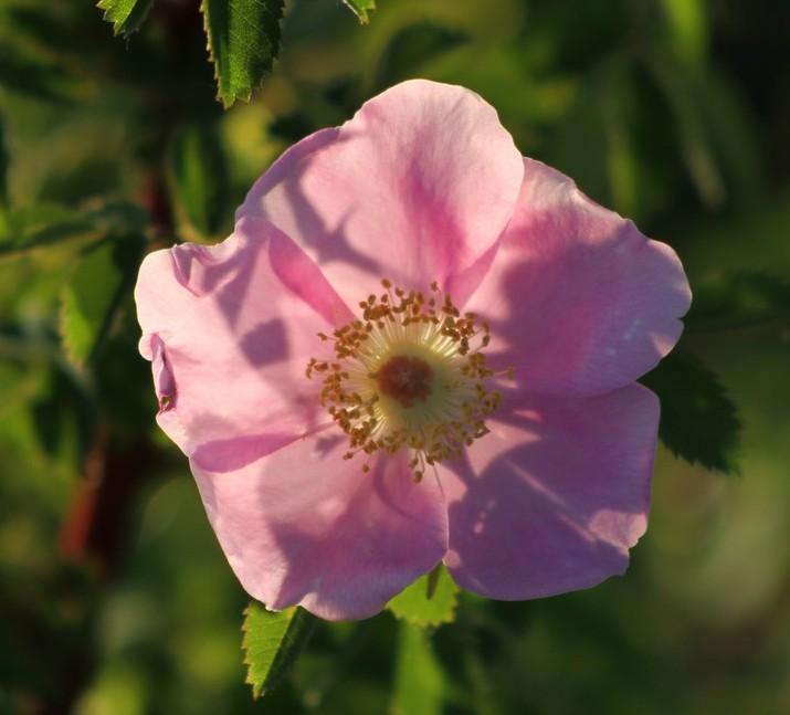 Wild rose 2016