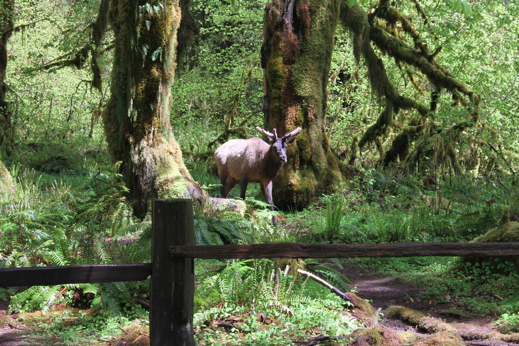 Elk in the Hoh Rain Forest