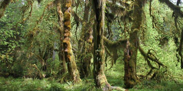 The Abundant Life of the Hoh Rain Forest