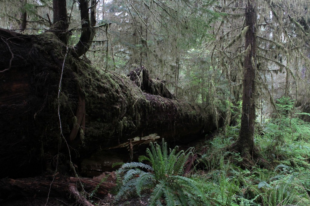 Nurse log giving new life in the Hoh Rain Forest,